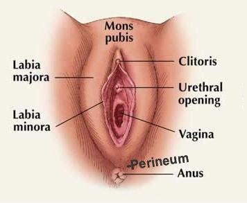 The vagina vulva female anatomy pictures, parts jpg 356x293